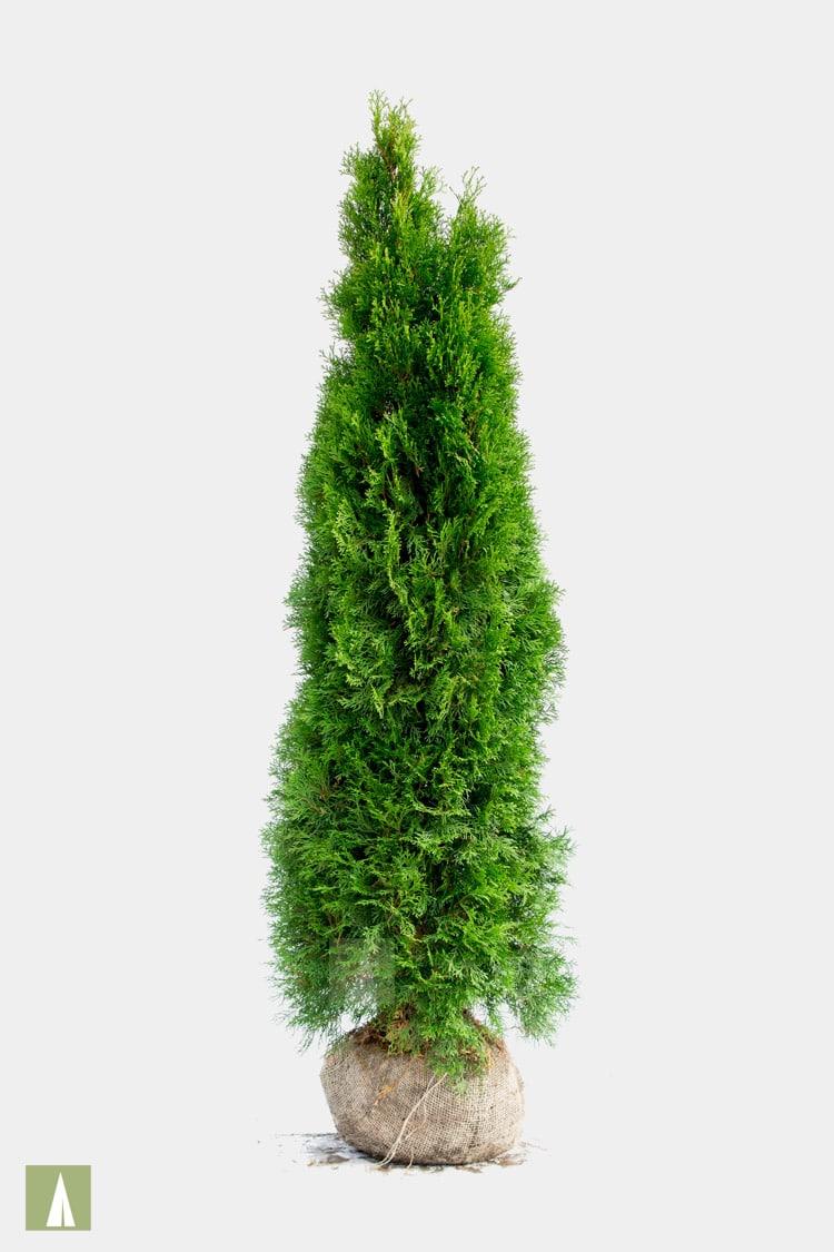 Plant Tuja Brabant eller Smaragd Hekk for Direkte Privatliv