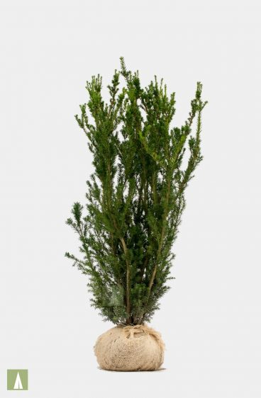 Plantinavia - Hybrididegran Hillli