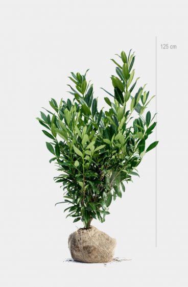 Plantinavia - Lagerhägg Caucasica