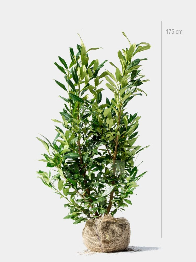 Lagerhägg Caucasica 175cm rotklump
