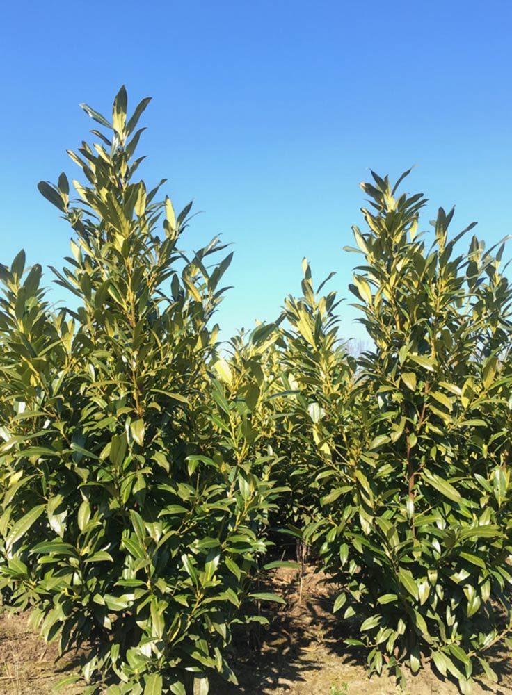 Prunus L. Hergergii 100-125cm