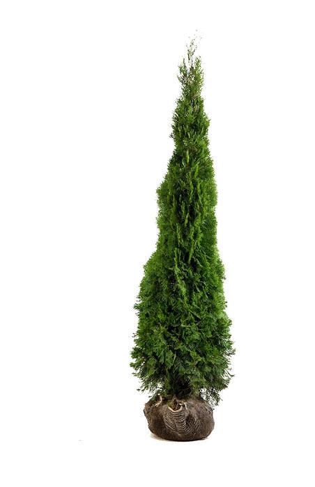 Thuja Occidentalis Smaragd 200cm