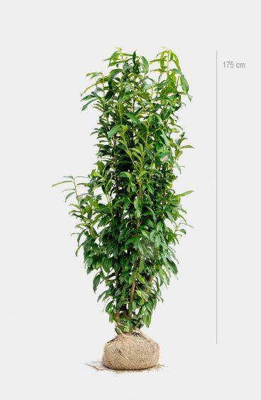 Plantinavia - Lagerhägg Genolia