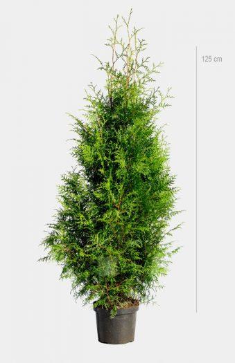 Thuja Brabant Exclusive Kruka 125cm