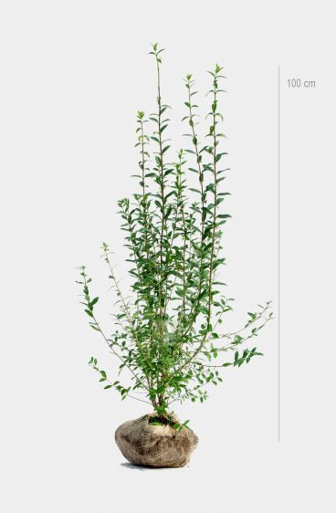 Plantinavia - Vintergrön Liguster