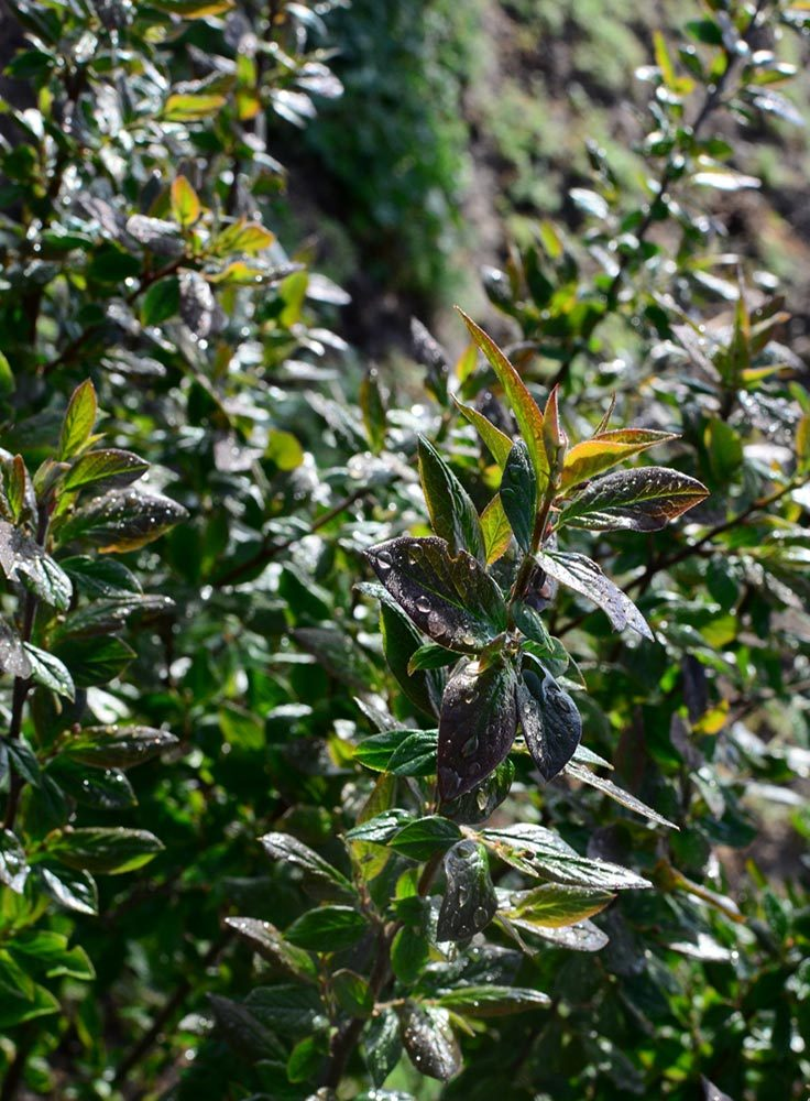 Cotoneaster-lucidus-detail-våren