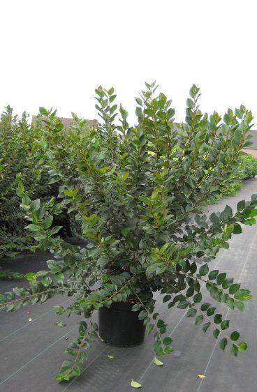 Plantinavia - Häckoxbär