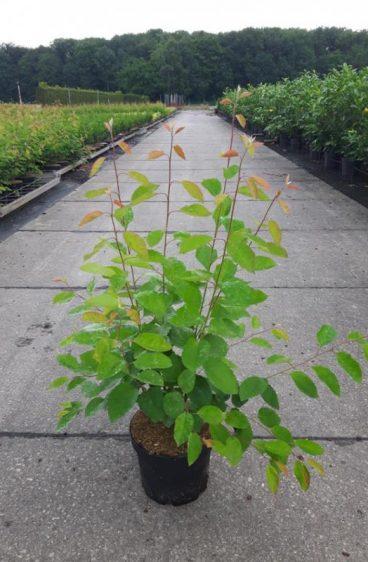 Plantinavia - Häggmispel