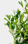 Prunus Herbergii Blatt