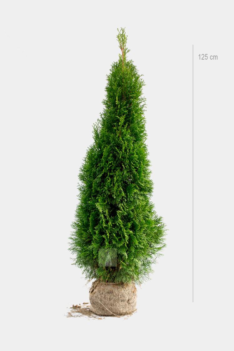 Thuja Smaragd Limited 125cm