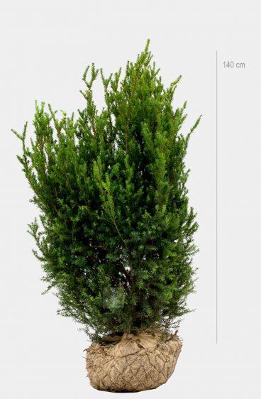 Plantinavia - Hybrididegran Hicksii