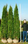 Thuja-Smaragd-250cm-300cm