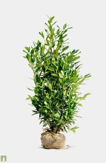 Plantinavia - Lagerhägg Herbergii